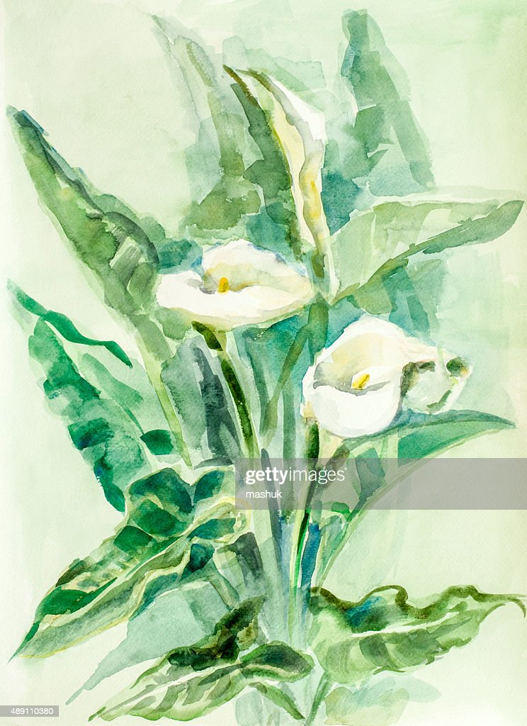 Calla lily flowers - watercolor : stock illustration