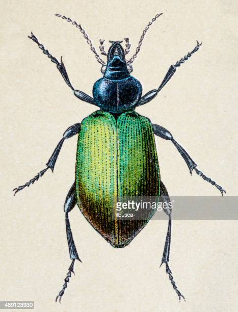 calosoma sycophanta or forest caterpillar, insect animals antique illustration - insect stock illustrations