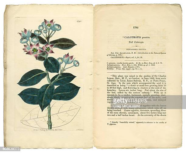 calotropis procera victorian botanical illustration, tall calotropis, apocynaceae, 1835 - milkweed stock illustrations