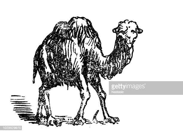 60 Top Desert Camel Drawing Stock Illustrations, Clip art