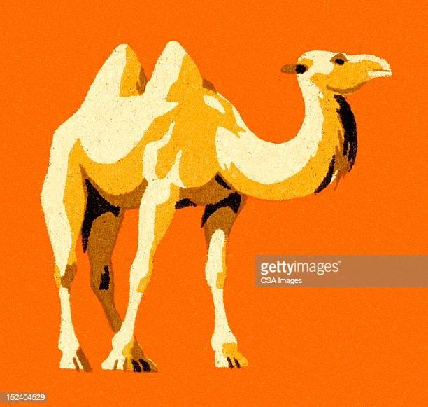 Camello
