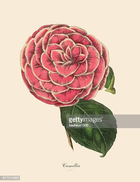 Camellia, Pink Camellia Plant, Victorian Botanical Illustration