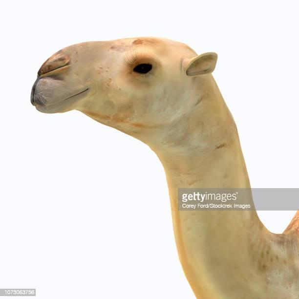 Camelops hesternus portrait.