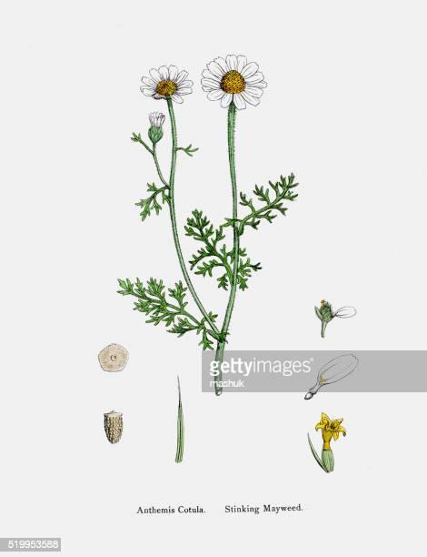 camomile plant 19th century illustration - daisy stock illustrations