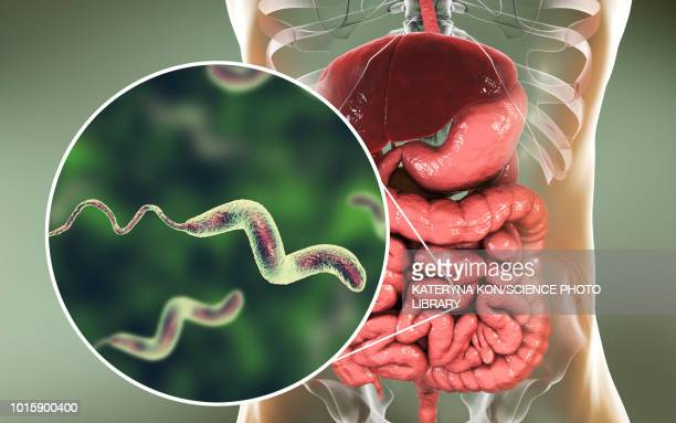 campylobacteriosis, conceptual illustration - human digestive system stock illustrations