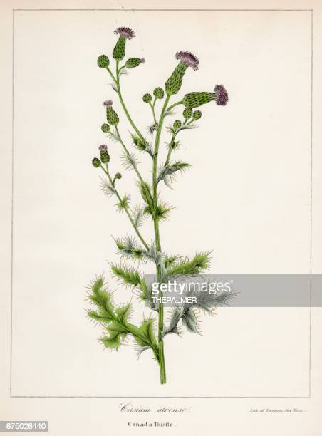 canada thistle botanical engraving 1843 - thistle stock illustrations, clip art, cartoons, & icons