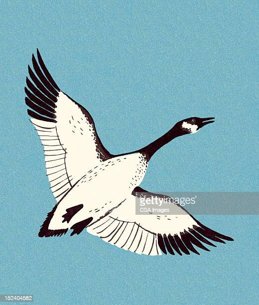 Canadian Goose Flying