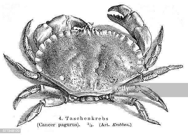illustrations, cliparts, dessins animés et icônes de cancer pagurus crab engraving 1895 - crabe