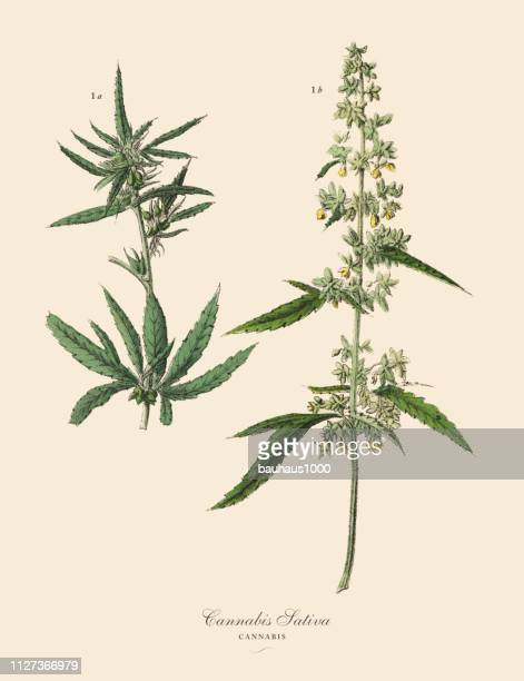 cannabis & marijuana, root crops and vegetables, victorian botanical illustration - history stock illustrations