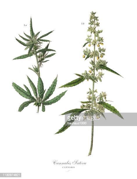 大麻 & マリファナ、根菜類、野菜、ヴィクトリア朝の植物のイラスト - カンナビスサティバ点のイラスト素材/クリップアート素材/マンガ素材/アイコン素材