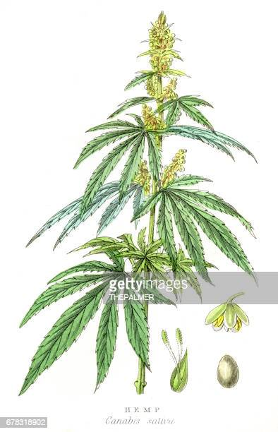 cannabis plant botanical engraving 1857 - cannabis medicinal stock illustrations, clip art, cartoons, & icons