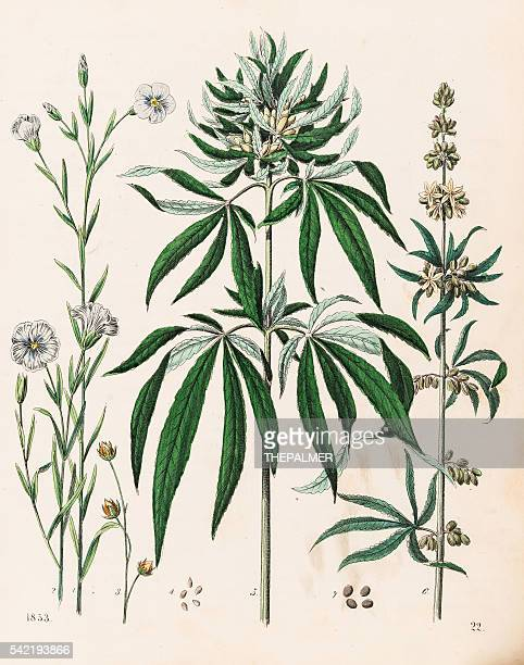 Cannabis plant illustration 1853