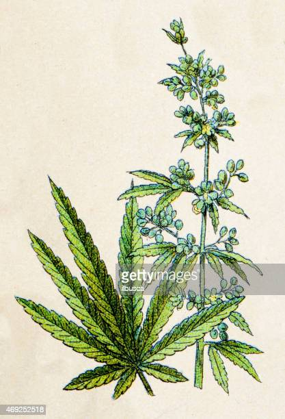 ilustraciones, imágenes clip art, dibujos animados e iconos de stock de canabis sativa, las centrales antiguas medio - marihuana