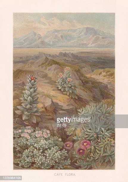 ilustraciones, imágenes clip art, dibujos animados e iconos de stock de región florística del cabo, sudáfrica, cromolitógrafo, publicado en 1891 - biodiversidad