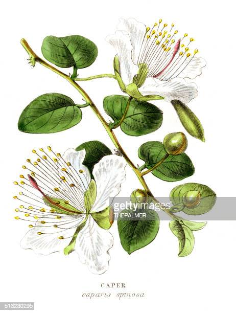 Caper specie engraving illustration