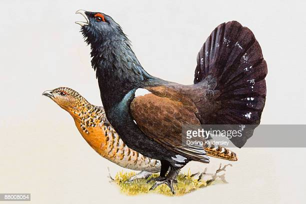 capercaillie (tetrao urogallus), male with fanned-out tail feathers and female, side view - female animal stock illustrations