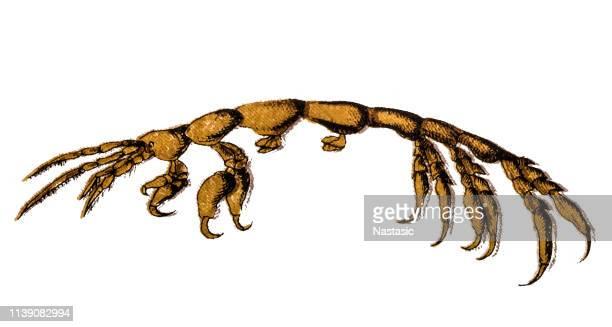 Caprella equilibra is a species of skeleton shrimp in the family Caprellidae