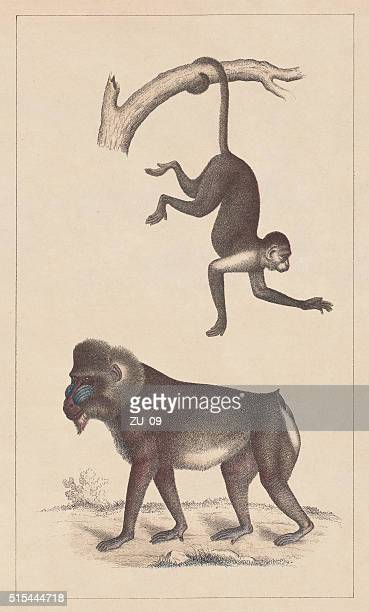 capuchin and mandrill, lithograph, published in 1873 - mandrill stock illustrations, clip art, cartoons, & icons