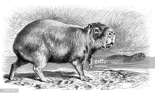 capybara hydrochoerus hydrochaeris illustration - capybara stock illustrations