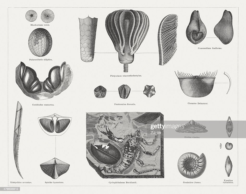 Carboniferous fossils, wood engravings, published in 1878 : stock illustration