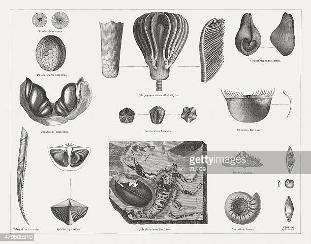 Carboniferous fossils, wood engravings, published in 1878