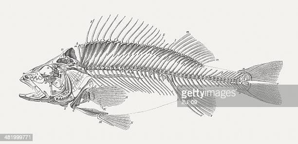 carcass of a perch (perca fluviatilis), wood engraving, published 1884 - skeleton stock illustrations, clip art, cartoons, & icons