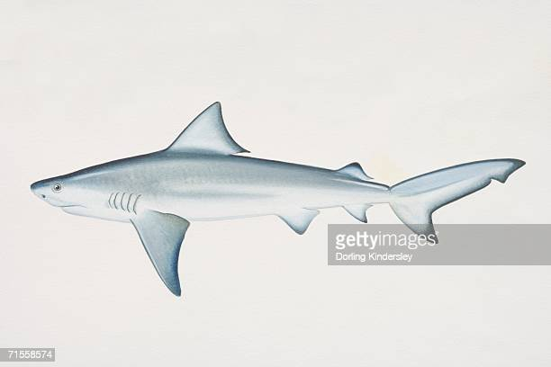 carcharhinus leucas, bull shark, side view. - bull shark stock illustrations