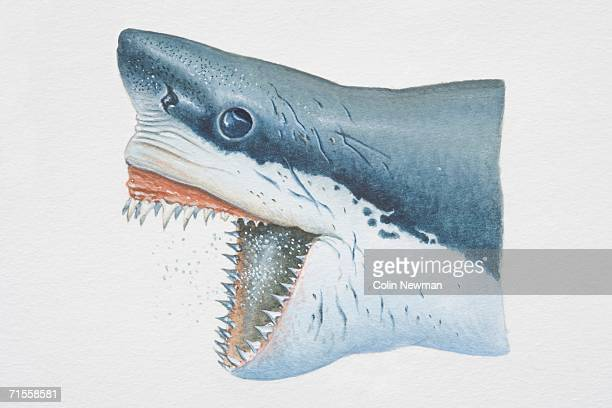 carcharodon carcharias, head of white shark opening its jaws to expose serrated teeth, side view. - great white shark stock illustrations, clip art, cartoons, & icons
