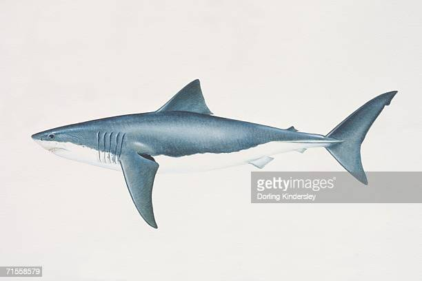 carcharodon carcharias, white shark, side view. - great white shark stock illustrations, clip art, cartoons, & icons