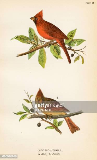 cardinal grosbeak bird lithograph 1890 - cardinal bird stock illustrations, clip art, cartoons, & icons