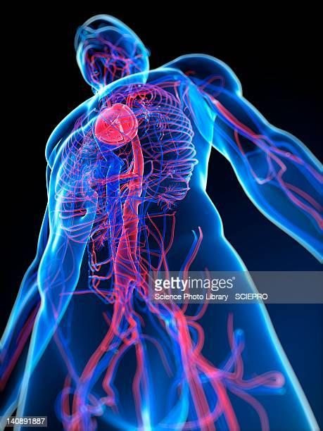 cardiovascular system, artwork - physiology stock illustrations, clip art, cartoons, & icons