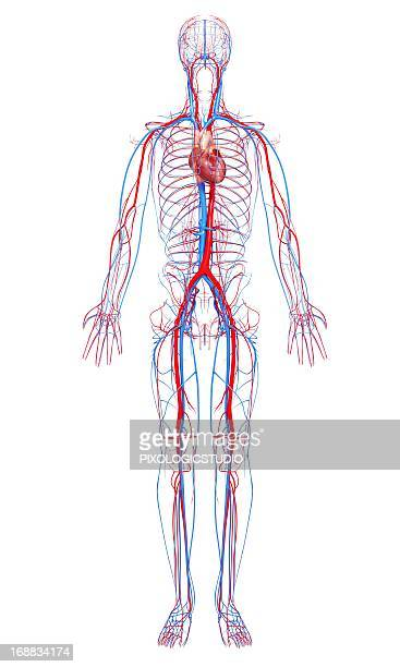 cardiovascular system, artwork - human body part stock illustrations