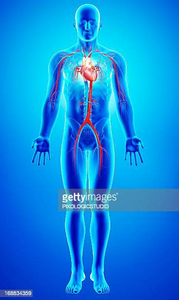 cardiovascular system, artwork - male likeness stock illustrations