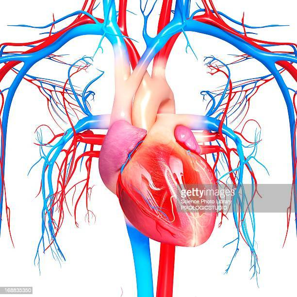 cardiovascular system, artwork - artery stock illustrations