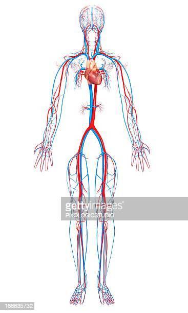 cardiovascular system, artwork - 静脈点のイラスト素材/クリップアート素材/マンガ素材/アイコン素材