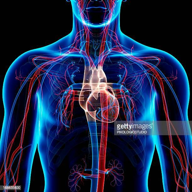 cardiovascular system, artwork - anatomy stock illustrations