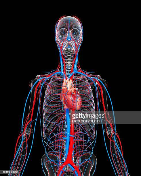cardiovascular system, artwork - blood vessel stock illustrations, clip art, cartoons, & icons