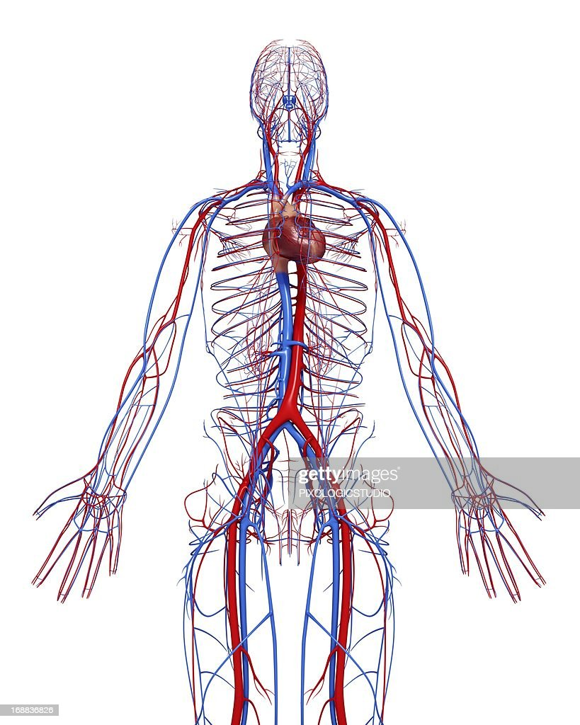 Cardiovascular System Artwork Stock Illustration Getty Images