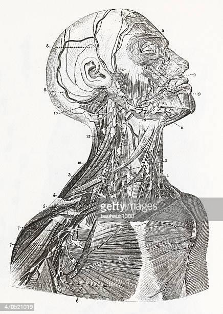 Cardiovascular System Engraving