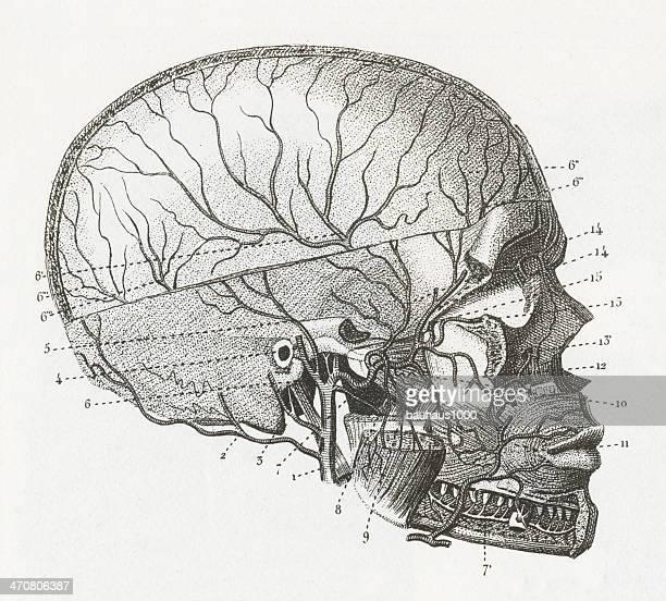 cardiovascular system - neurosurgery stock illustrations, clip art, cartoons, & icons