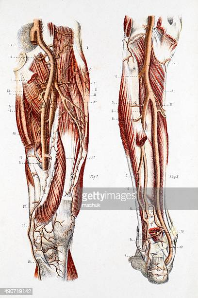 cardiovascular system of the leg and foot - anatomical model stock illustrations, clip art, cartoons, & icons