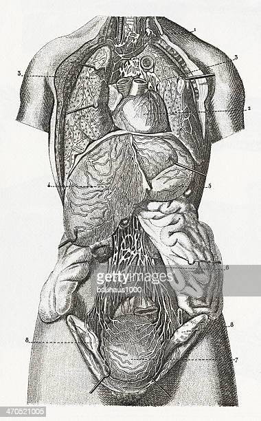 Cariovascular System Engraving