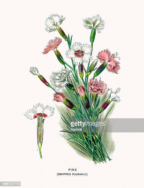 carnation flower - sweet william flower stock illustrations, clip art, cartoons, & icons