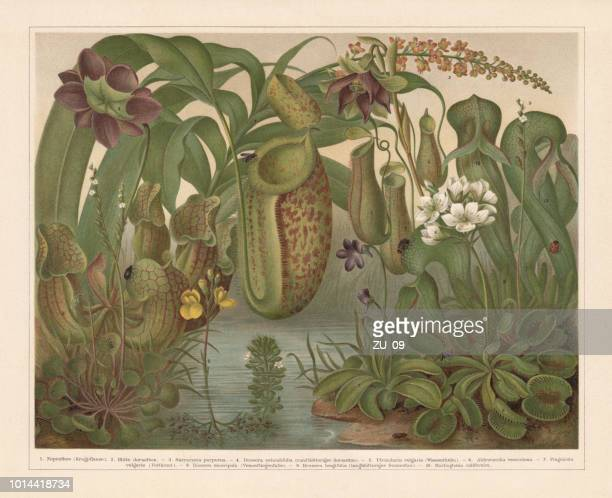 carnivorous plants, chromolithograph, published in 1897 - venus flytrap stock illustrations, clip art, cartoons, & icons