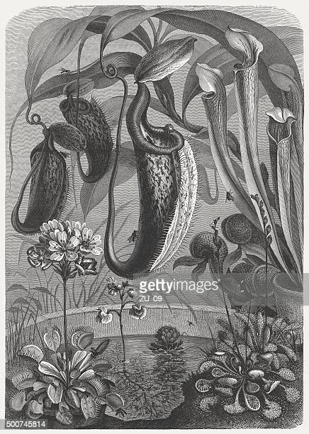 carnivorous plants, published in 1875 - venus flytrap stock illustrations, clip art, cartoons, & icons