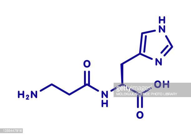 carnosine food supplement molecule, illustration - the ageing process stock illustrations