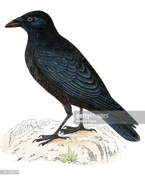 carrion crow - hand coloured engraving - crow stock illustrations