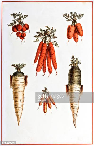 carrot ,parsnip ,radish drawing - parsnip stock illustrations, clip art, cartoons, & icons
