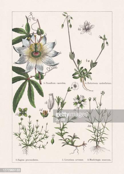 ilustrações, clipart, desenhos animados e ícones de caryophyllaceae, cromatógrafo, publicado em 1895 - chickweed