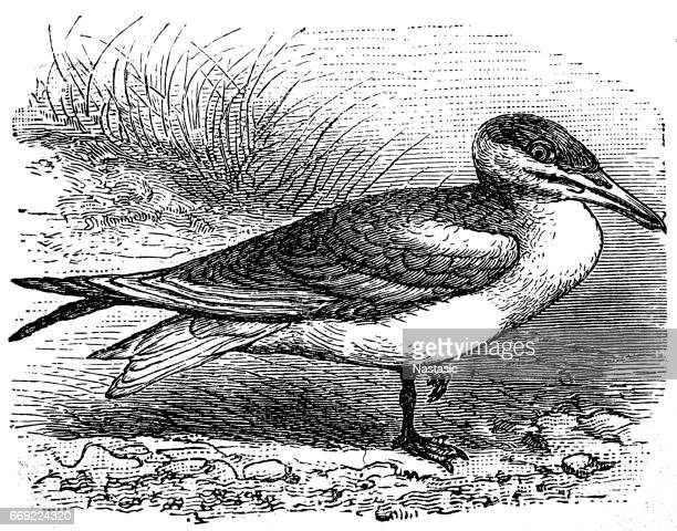 ilustraciones, imágenes clip art, dibujos animados e iconos de stock de ostrero americano (haematopus palliates) - biodiversidad